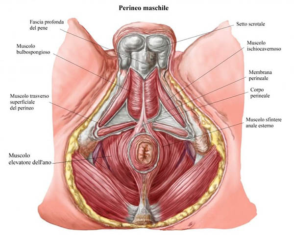 stiramento pelvico della salve della prostata
